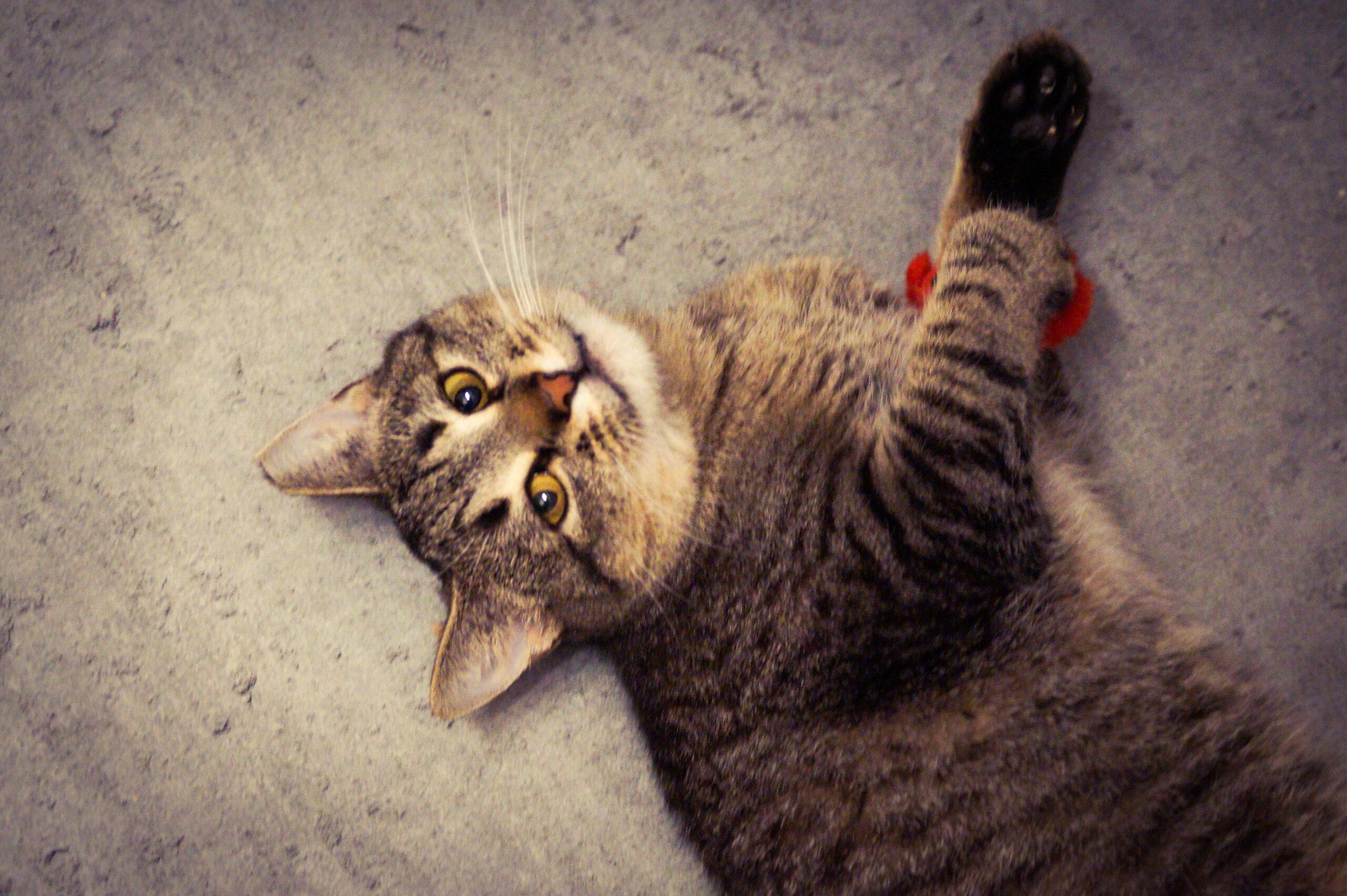 Szara pręgowana kotka