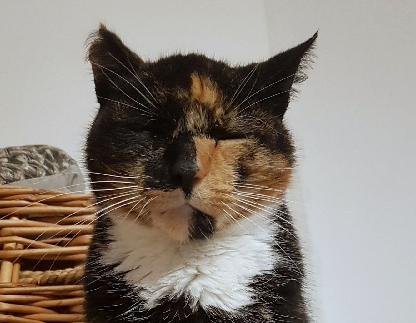 Kotka czarno-rudo-biało
